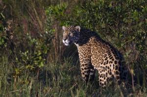 JCF Jaguar Brazil