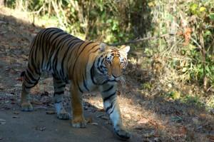 jo-tiger