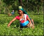 tea-garden-worker