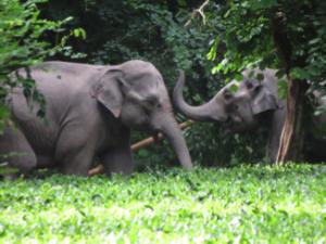 Wild Elephants in Assam India Photo: Anshuma Basumatary