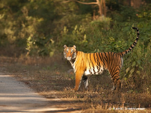 Tiger in the Western Ghats. Photo: Ramki Sreenivasan