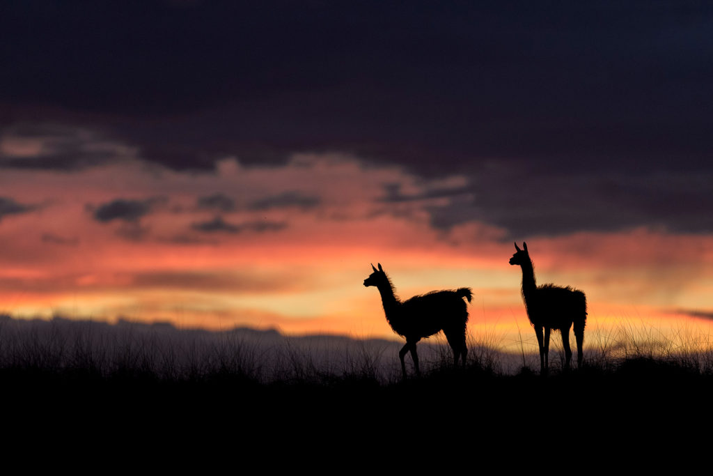 Guanacos at Sunset on Peninsula Valdes.  Photo courtesy Dario Podesta